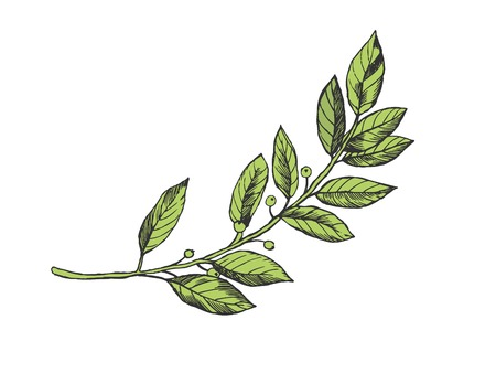 Laurel branch color sketch engraving vector illustration. Scratch board style imitation. Hand drawn image. Ilustrace