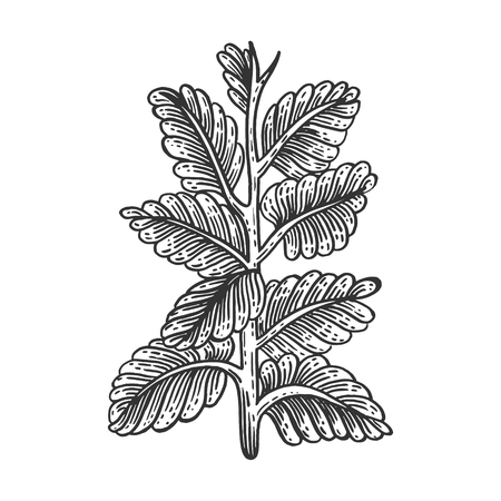 Nicotiana tobacco plant vintage sketch engraving vector illustration. Scratch board style imitation. Black and white hand drawn image. Stock fotó - 117631617