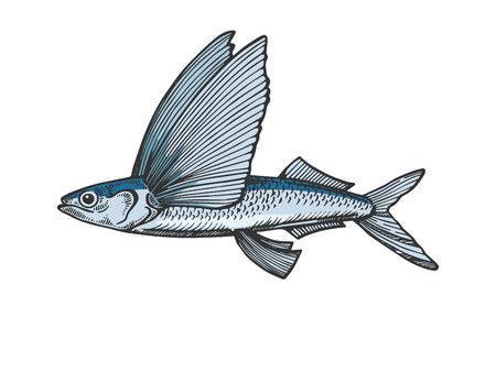 Flying fish animal color sketch engraving vector illustration. Scratch board style imitation. Black and white hand drawn image.