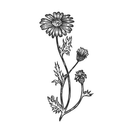 Officinalis camomilla pianta medica schizzo incisione illustrazione vettoriale. Imitazione di stile scratch board. Immagine disegnata a mano.