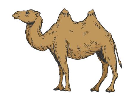 Illustrazione di vettore di incisione di schizzo di colore del cammello. Imitazione di stile scratch board. Immagine disegnata a mano in bianco e nero. Vettoriali