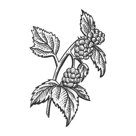 Raspberry berry plant engraving sketch vector illustration. Scratch board style imitation. Black and white hand drawn image.