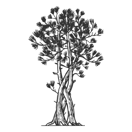Binded pine tree sketch engraving vector illustration. Scratch board style imitation. Hand drawn image.