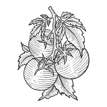 Tomato plant branch sketch engraving vector illustration. Scratch board style imitation. Hand drawn image.