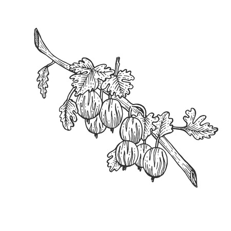 Stachelbeere mit Blättern skizzieren Gravur-Vektor-Illustration. Nachahmung im Scratchboard-Stil. Handgezeichnetes Bild.