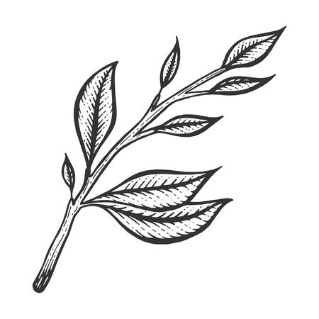 Branch of tea plant sketch engraving vector illustration. Scratch board style imitation. Black and white hand drawn image.