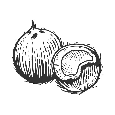 Coconut fruit sketch engraving vector illustration. Scratch board style imitation. Black and white hand drawn image.
