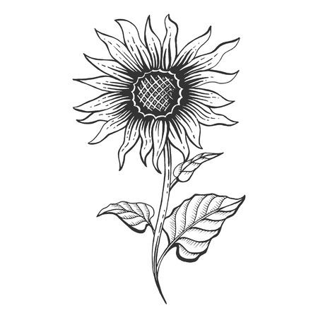 Illustration vectorielle de tournesol plante croquis gravure. Imitation de style planche à gratter. Image dessinée à la main.