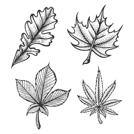 Plant Chestnut Oak Maple Cannabis leaves sketch engraving vector illustration. Scratch board style imitation. Hand drawn image. Imagens - 124033545