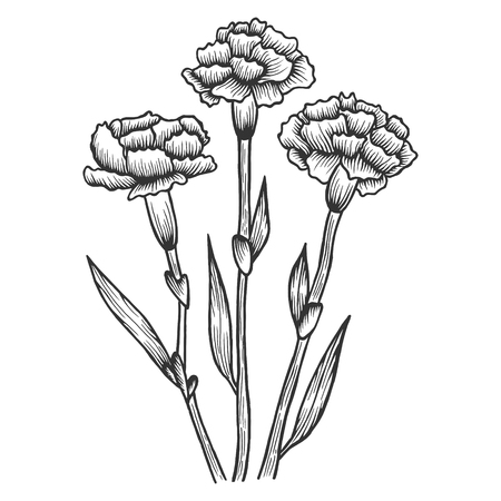 Dianthus carnation flowers sketch engraving vector illustration. Scratch board style imitation. Hand drawn image.