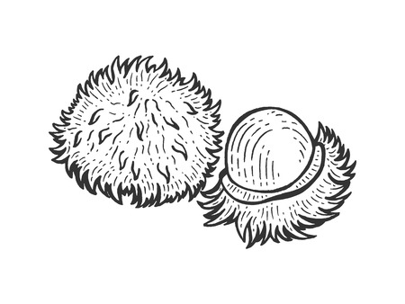 Rambutan exotic fruit sketch engraving vector illustration. Scratch board style imitation. Black and white hand drawn image.