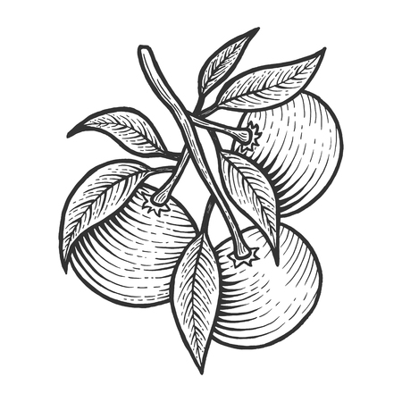 Mandarin orange citrus exotic fruit sketch engraving vector illustration. Scratch board style imitation. Black and white hand drawn image. Ilustração