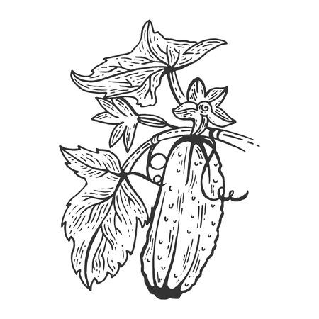 Gurkengemüsepflanze auf Zweigskizzenstich-Vektorillustration. Nachahmung im Scratchboard-Stil. Handgezeichnetes Bild.
