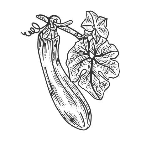 Zucchini vegetable plant on branch sketch engraving vector illustration. Scratch board style imitation. Hand drawn image.