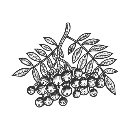 Rowan Sorbus branch sketch engraving vector illustration. Scratch board style imitation. Hand drawn image. Illustration