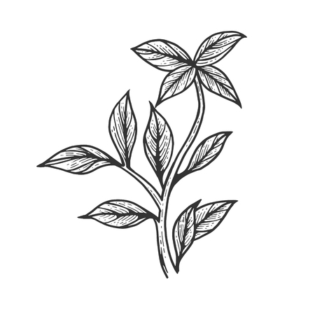 Basil ocimum green plant spice sketch engraving vector illustration. Scratch board style imitation. Hand drawn image.