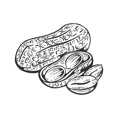 Peanut nut fruit sketch engraving vector illustration. Scratch board style imitation. Black and white hand drawn image. Çizim