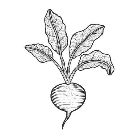 Beetroot beet vegetable plant sketch engraving vector illustration. Scratch board style imitation. Hand drawn image.