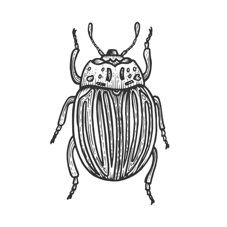 Colorado potato beetle sketch engraving vector illustration. Scratch board style imitation. Black and white hand drawn image.