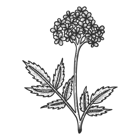 Valerian herb sketch engraving vector illustration. Scratch board style imitation. Black and white hand drawn image. Illustration