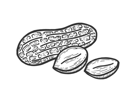 Peanut nut fruit sketch engraving vector illustration. Scratch board style imitation. Black and white hand drawn image. Stock Illustratie