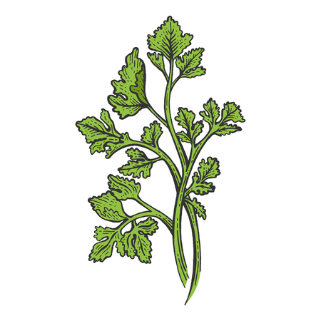 Cilantro Coriander parsley green herb spice color sketch engraving vector illustration. Scratch board style imitation. Hand drawn image. Ilustração