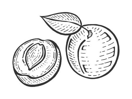 Aprikosenfruchtpflanze Ast Skizze Gravur Vektor-Illustration. Nachahmung im Scratchboard-Stil. Handgezeichnetes Bild.