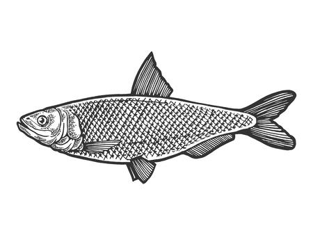 Hareng Clupea poisson nourriture croquis animal gravure illustration vectorielle. Imitation de style planche à gratter. Image dessinée à la main en noir et blanc.