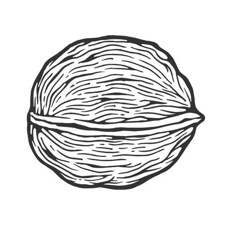 Walnut nut sketch engraving vector illustration. Scratch board style imitation. Black and white hand drawn image.