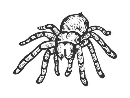 Tarantula Lycosa Wolfspinne Skizze Strichzeichnungen Gravur Vektor-Illustration. Nachahmung im Scratchboard-Stil. Handgezeichnetes Schwarz-Weiß-Bild.