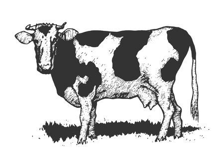 Cow rural farm animal sketch engraving vector illustration. Scratch board style imitation. Black and white hand drawn image.