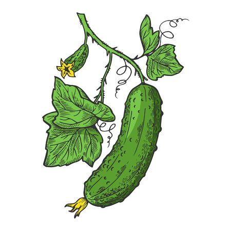 Cucumber plant branch color sketch engraving vector illustration. Scratch board style imitation. Hand drawn image.
