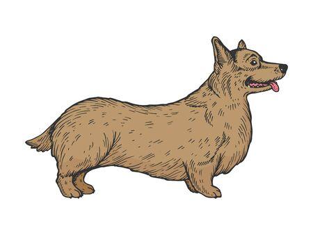 Welsh Corgi dog color sketch engraving vector illustration. Scratch board style imitation. Black and white hand drawn image. Illustration