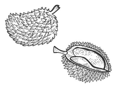 Durian stinking exotic fruit sketch engraving vector illustration. Scratch board style imitation. Black and white hand drawn image. Ilustração
