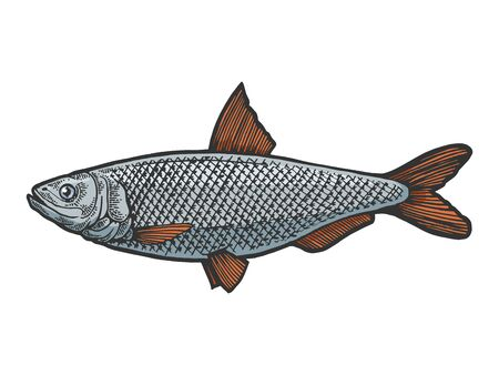 Herring Clupea fish food animal color sketch engraving vector illustration. Scratch board style imitation. Black and white hand drawn image. Ilustração