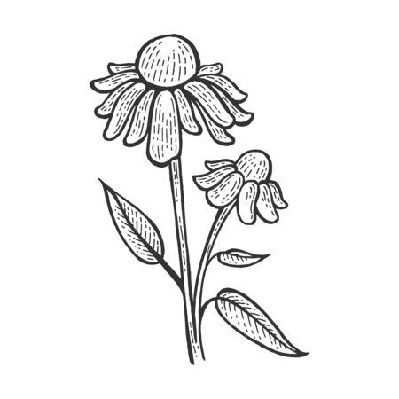 Echinacea purpurea medical plant sketch engraving vector illustration. Scratch board style imitation. Hand drawn image.