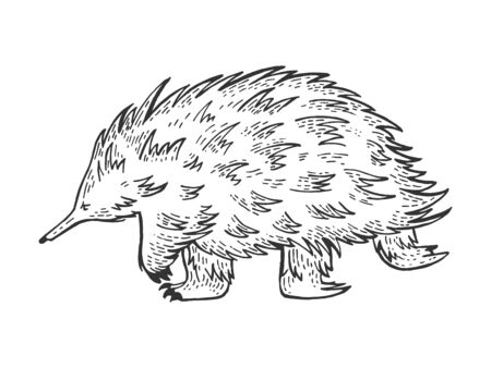 Short-beaked echidna animal sketch engraving vector illustration. Scratch board style imitation. Hand drawn image.