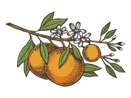 Orange citrus tree branch color sketch engraving vector illustration. Scratch board style imitation. Hand drawn image.