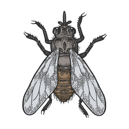 Tsetse fly insect color sketch engraving vector illustration. Scratch board style imitation. Black and white hand drawn image.