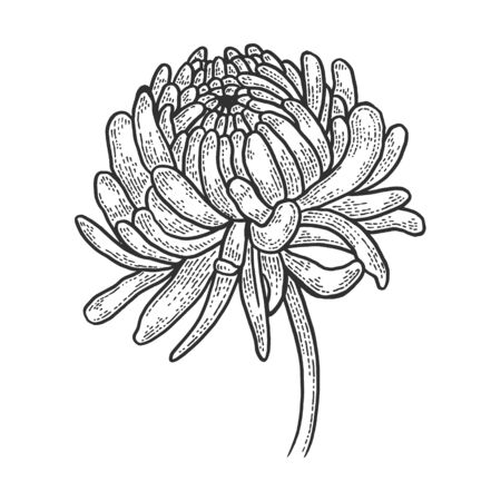 Chrysanthemum flower sketch engraving vector illustration. T-shirt apparel print design. Scratch board style imitation. Black and white hand drawn image.