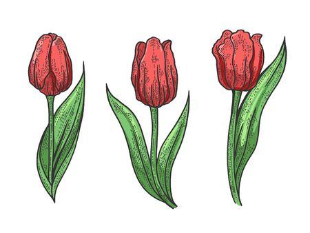 Dibujo de flor de tulipán grabado ilustración vectorial. Diseño de impresión de ropa de camiseta. Imitación de tablero de rascar. Imagen dibujada a mano en blanco y negro.