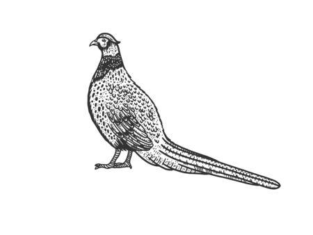 Common pheasant bird sketch engraving vector illustration. T-shirt apparel print design. Scratch board imitation. Black and white hand drawn image.