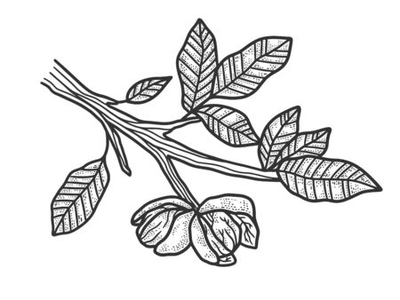 walnut tree plant sketch engraving vector illustration. T-shirt apparel print design. Scratch board imitation. Black and white hand drawn image.