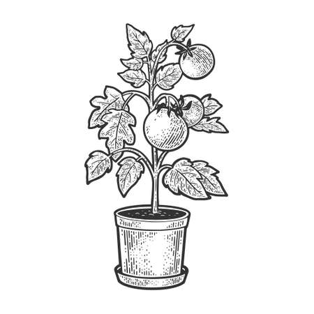 Tomato plant in pot sketch engraving vector illustration. T-shirt apparel print design. Scratch board imitation. Black and white hand drawn image.
