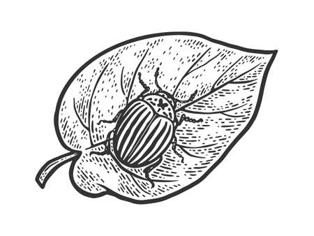Colorado potato beetle on leaf sketch engraving vector illustration. T-shirt apparel print design. Scratch board imitation. Black and white hand drawn image. 向量圖像