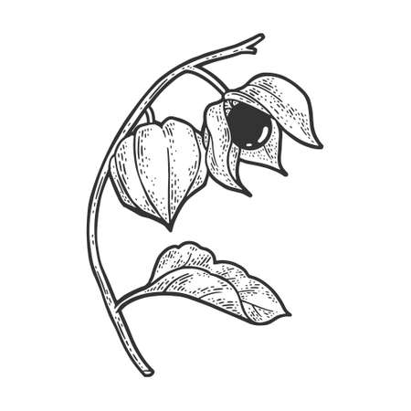 Physalis fruit plant sketch engraving vector illustration. T-shirt apparel print design. Scratch board imitation. Black and white hand drawn image.