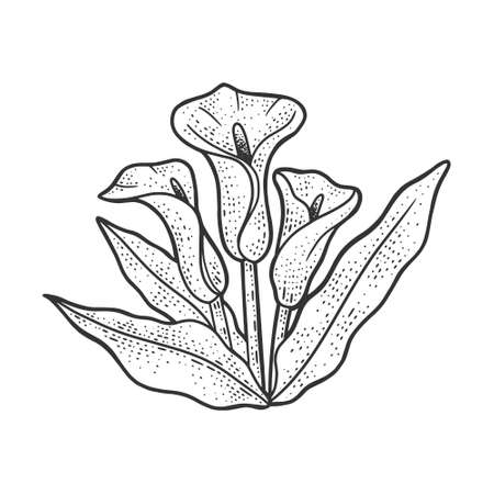 Arum flower plant sketch engraving vector illustration. T-shirt apparel print design. Scratch board imitation. Black and white hand drawn image.