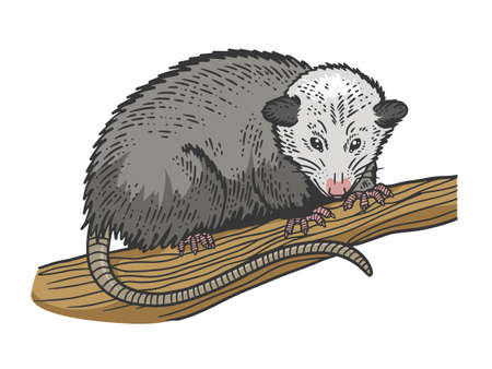 Opossum animal color sketch engraving vector illustration. T-shirt apparel print design. Scratch board imitation. Black and white hand drawn image. 向量圖像