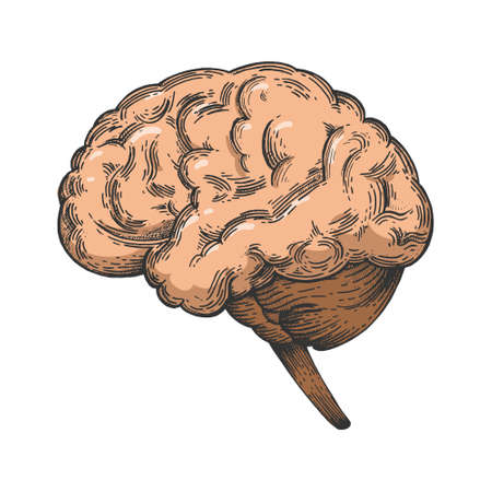 Human brain schematic vintage color sketch engraving vector illustration. Scratch board style imitation. Black and white hand drawn image. Ilustracja