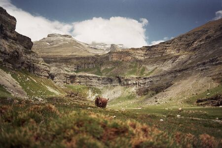 Cow in a valley